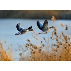 Dwie kaczki lecące nad...